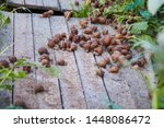 Stock photo helix aspersa muller maxima snail organic farming snail farming edible snails on wooden snails 1448086472