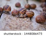 Stock photo helix aspersa muller maxima snail organic farming snail farming edible snails on wooden snails 1448086475