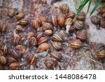 Stock photo helix aspersa muller maxima snail organic farming snail farming edible snails on wooden snails 1448086478