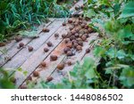 Stock photo helix aspersa muller maxima snail organic farming snail farming edible snails on wooden snails 1448086502