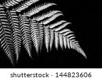 Silver Fern In Black And White...