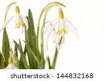 snowdrop flowers   Shutterstock . vector #144832168