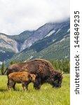 American Bison  Bison Bison  Or ...