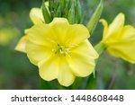 Evening Primrose Yellow Flower...