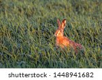 Stock photo hare sitting in the grass on the field european hare lepus europaeus 1448941682