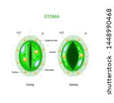 stoma  open and closed .... | Shutterstock .eps vector #1448990468