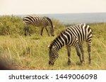 zebra feeding in the grassland... | Shutterstock . vector #1449006098