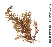 Small photo of Pelagic brown algae in the genus Sargassum. The berry-like structures are gas-filled bladders known as pneumatocysts, which provide buoyancy to the plant. Isolated on white background