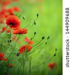 flowering poppies in the field. | Shutterstock . vector #144909688