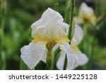 Beautiful White Iris Flower In...
