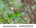 A Snail On A Tree In Our Garden