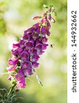 Purple Foxglove Or Digitalis...
