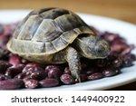 Stock photo little turtle petite baby tortoise 1449400922