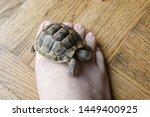 Stock photo little turtle petite baby tortoise 1449400925