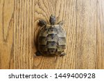 Stock photo little turtle petite baby tortoise 1449400928