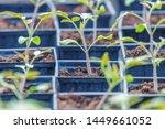 tomato sprouts greenhouse ... | Shutterstock . vector #1449661052