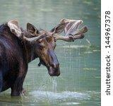 Bull Moose In Water Wetland...
