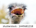 Angry Ostrich Close Up Portrai...