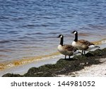 A Pair Of Canadian Geese ...