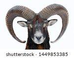 Mouflon  ovis orientalis ...