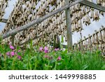 Spring flowers bask in the sun under a rack of dried cod in the Lofoten Islands of northern Norway.  Dried cod, known as stockfish, is the primary ingredient in many fish stews, including bacalao.