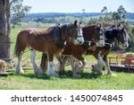 Clydesdale Working Horses Farm...