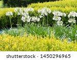 Flowering White Agapanthus...