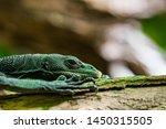 Green Lizard  Carolina Anole ...