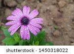 Closeup Of A Pink Fresh Daisy...