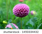 Isolated Natural Pink Dahlia...