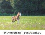 Welsh Mountain Pony Foal On...