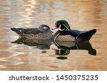 Male And Female Wood Ducks...