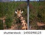 Giraffe In Captivity  In Zoo...