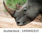 Close Up Portrait Of Rhino ...