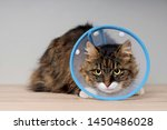 Stock photo longhair cat with a pet cone sitting on a table and looking anxiously away 1450486028