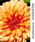 Small photo of Close up dahlia celinka in a garden