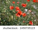 poppy flowers in a field | Shutterstock . vector #1450735115