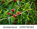 Ilex Verticillata  Commonly...