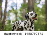 Stock photo dalmatian dog outdoors in the woods 1450797572