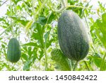 fresh green baby watermelon... | Shutterstock . vector #1450842422