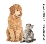 Stock photo tabby kitten with young royal poodle sitting together and look at each other isolated on white 1450844945