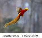 Golden Pheasant Foraging In Th...