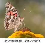 American Painted Lady Butterfly ...