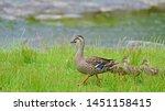 Babies Of Spot Billed Duck ...