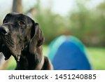 purebred dog black wool nature...   Shutterstock . vector #1451240885