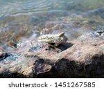 Mudskipper Fish Resting On A...