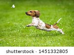 Dachshunds Puppy Are Playing O...