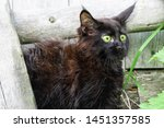 Stock photo little black kitten maine coon breed in the yard scared kitten 1451357585