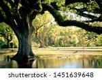 Live Oak Tree Louisiana Park...