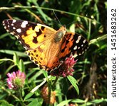 Stock photo macro photo nature butterfly sitting on a clover flower background blooming red clover and 1451683262